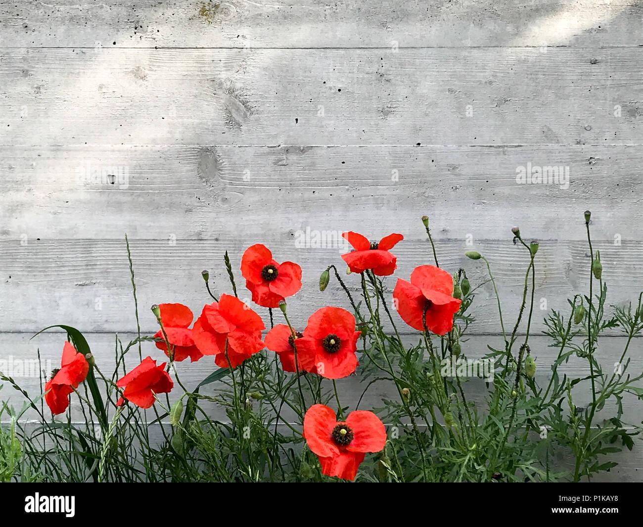 Papavero rosso fiori accanto al grigio di una parete in cemento Immagini Stock
