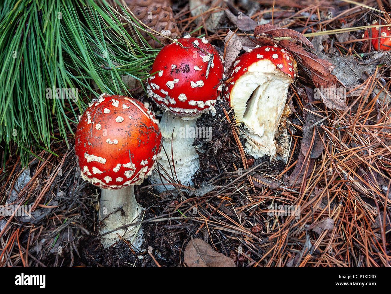 Funghi velenosi. Fungo velenoso con luminose di colore rosso e tappo di macchie bianche flake cresce tra alberi di pino in una foresta. Foto Stock