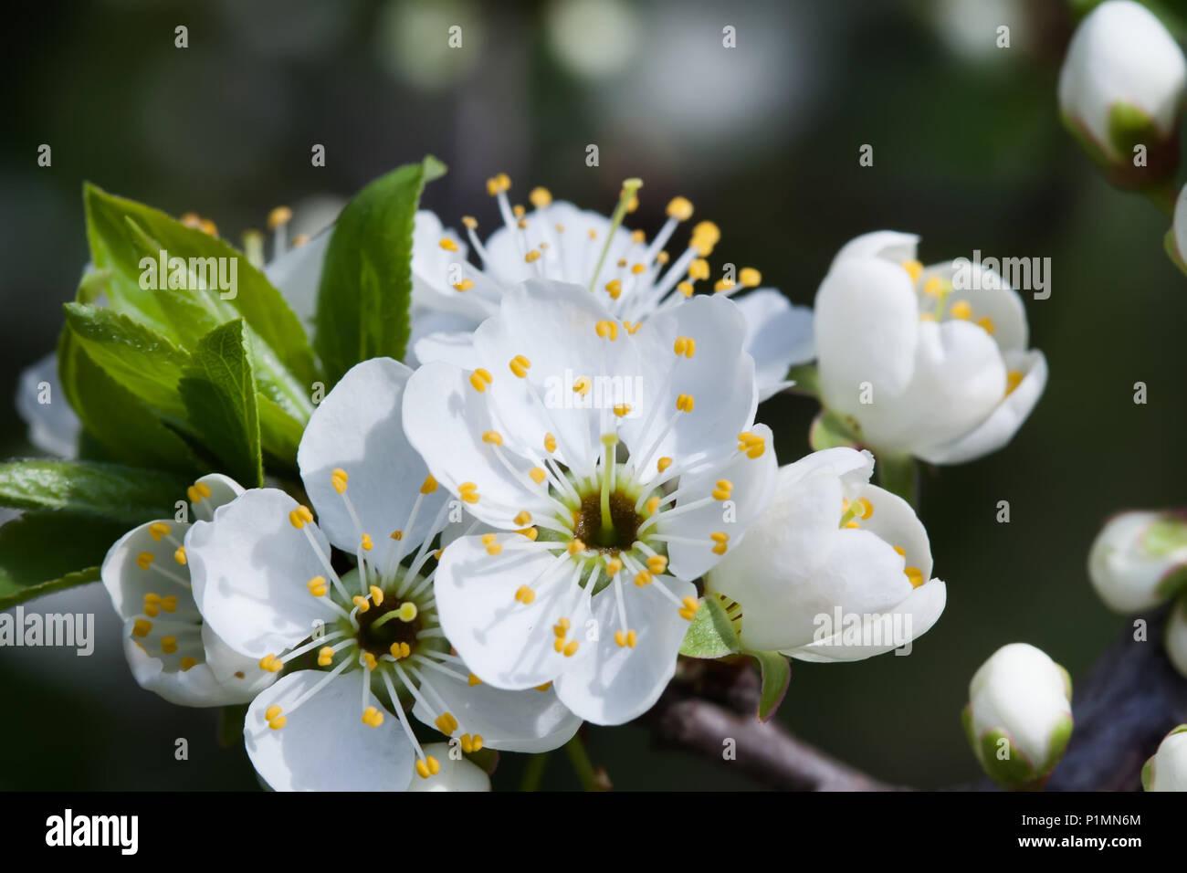 Fiori Bianchi In Primavera.Fioritura Melo Vista Macro Di Fiori Bianchi Bella Primavera La