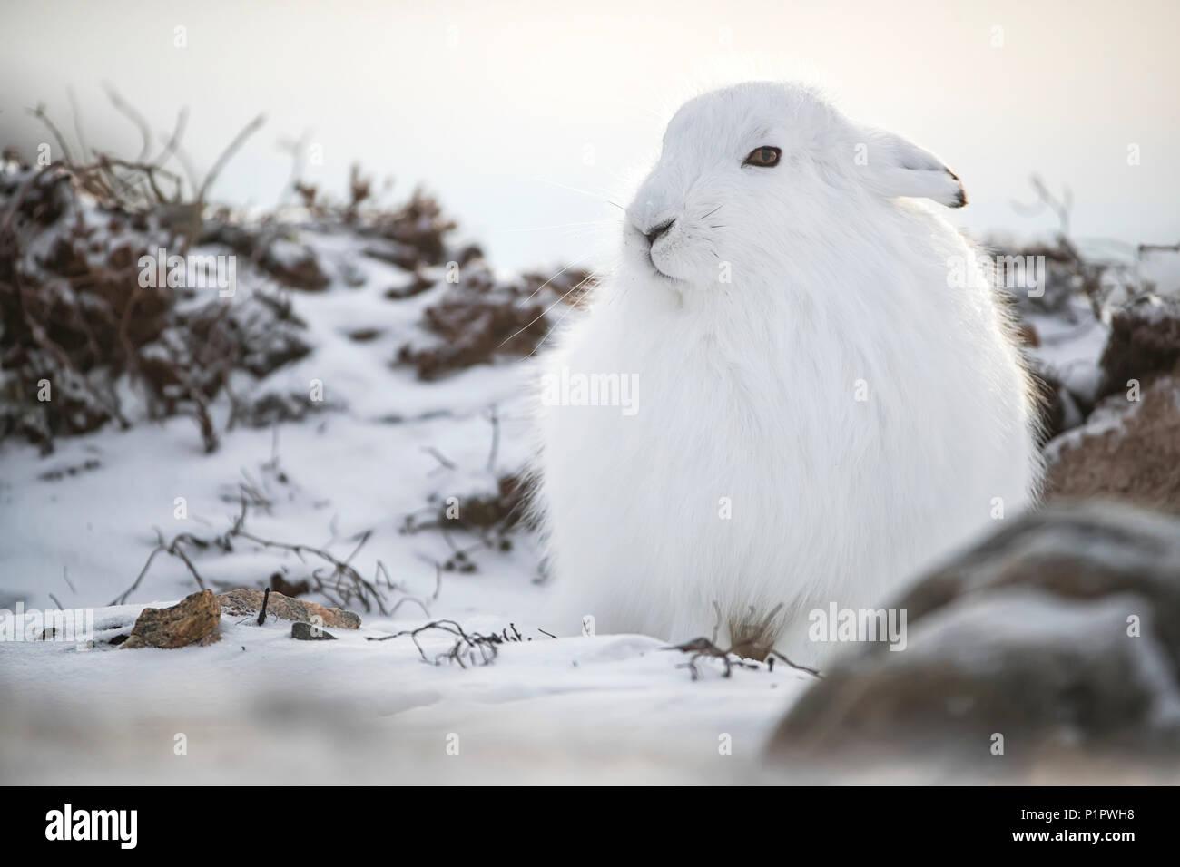Arctic lepre (Lepus arcticus) nella neve; Churchill, Manitoba, Canada Immagini Stock