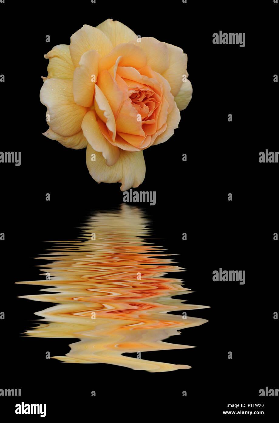 Immagine di arte di rosa inglese 39 grazia 39 riflessa nell for Rosa inglese