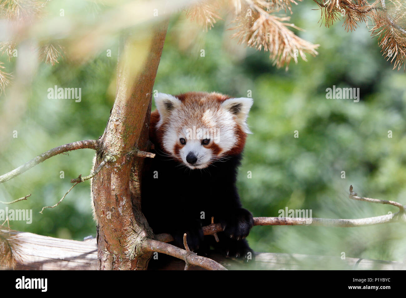 Cina. Provincia di Yunnan. Color ruggine-panda rosso (Ailurus fulgens) in una struttura ad albero. Immagini Stock
