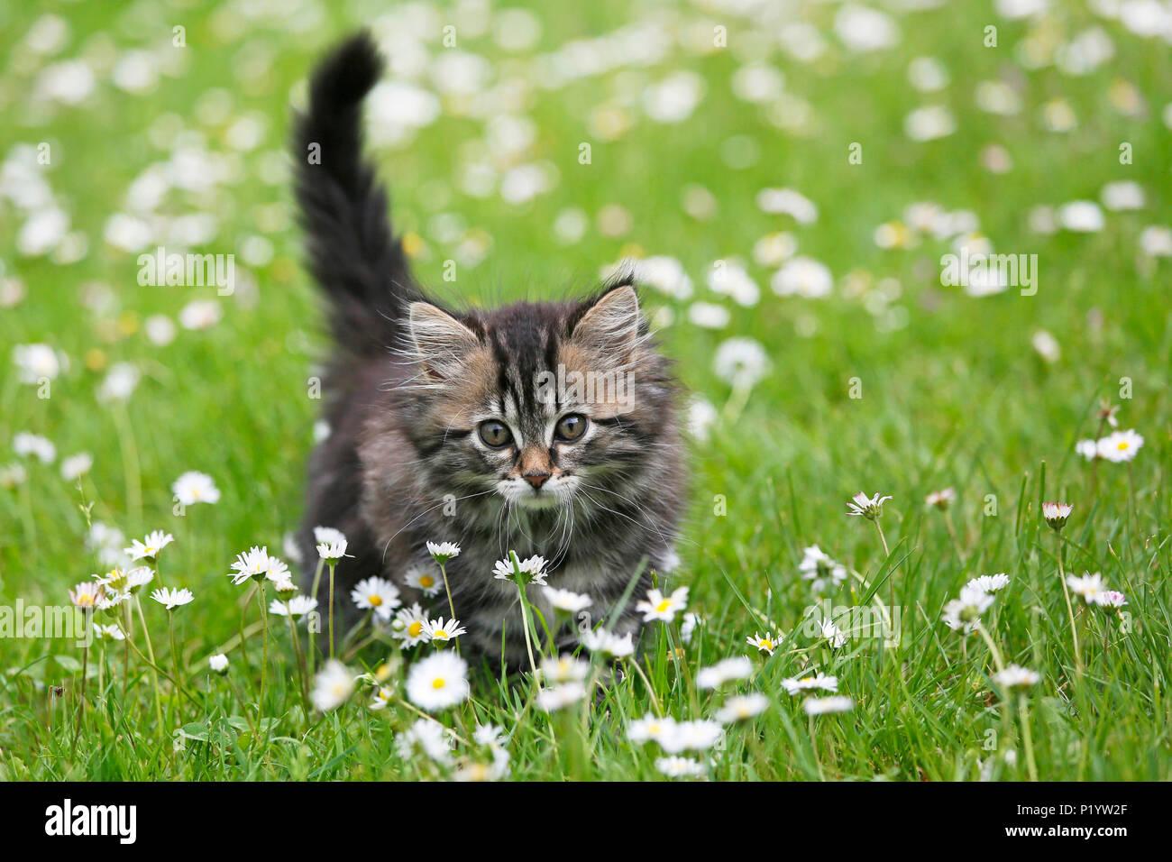 Seine et Marne. Cucciolo di sesso femminile di età compresa tra 9 settimane che corre intorno nell'erba. Margherite. Norwegian gatto di razza. Immagini Stock