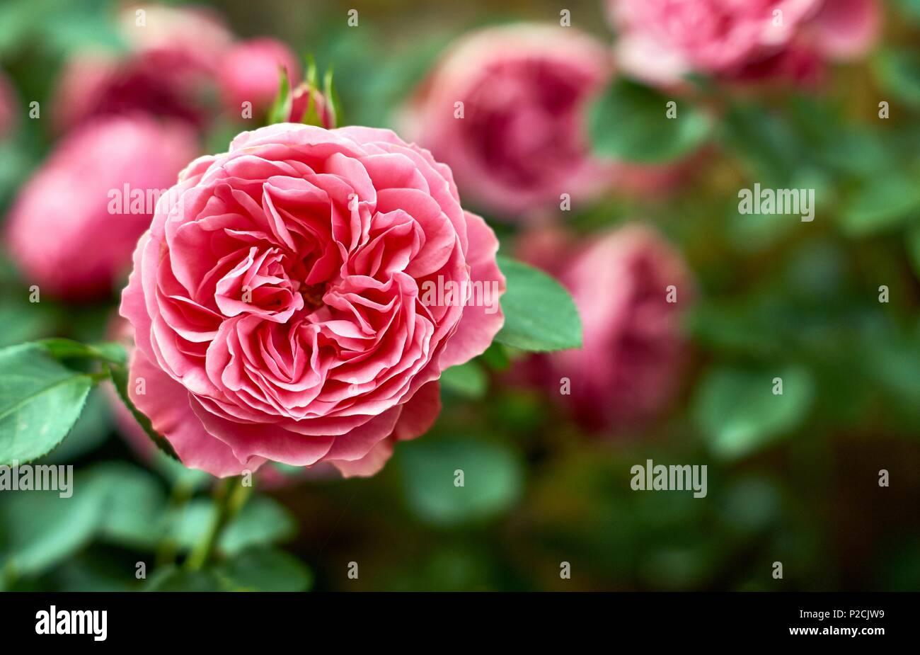 Rosa Rosa Fiori Più Antica Lettera Manoscritta Romantico Sfondo