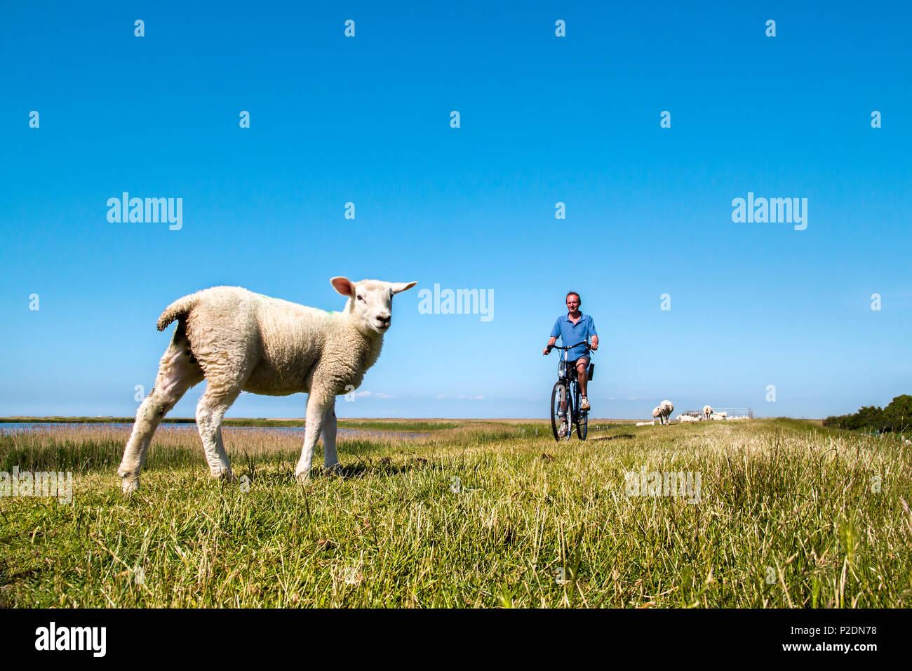 Ciclista e la pecora su una sorta di argine, Westermarkelsdorf, Fehmarn island, costa baltica, Schleswig-Holstein, Germania Immagini Stock
