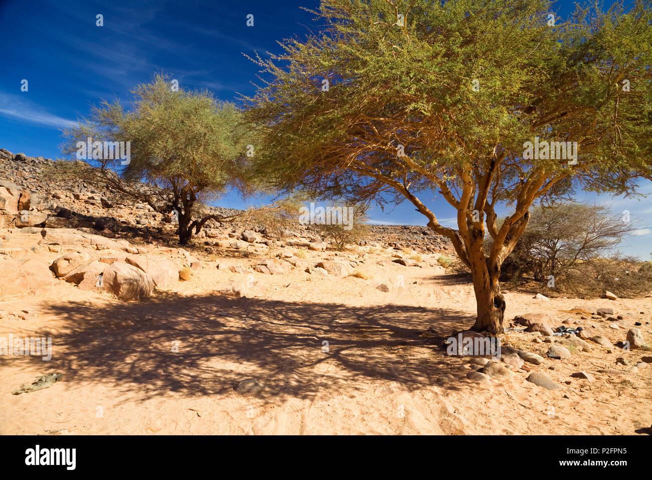 Gli alberi di acacia nel Wadi Mathendous, Wadi Barjuj, deserto pietroso, Libia, sahara Africa del Nord Immagini Stock