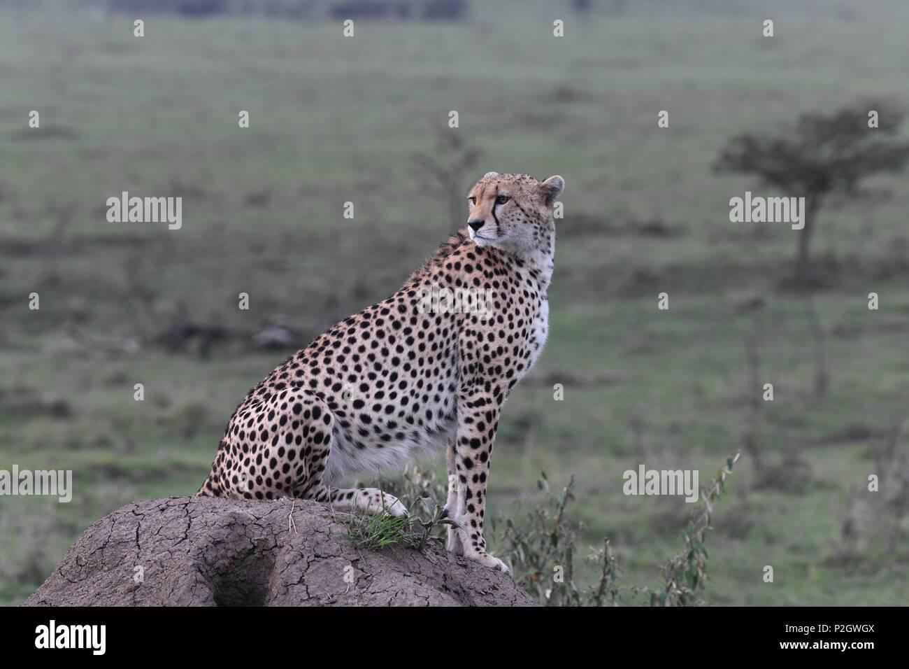 Lone cheetah seduta sul verde del Masai Mara savannah in cerca di prede. Foto scattata la mattina presto, zona di Olare Motorogi Conservancy. Acinonyx jubatus Immagini Stock
