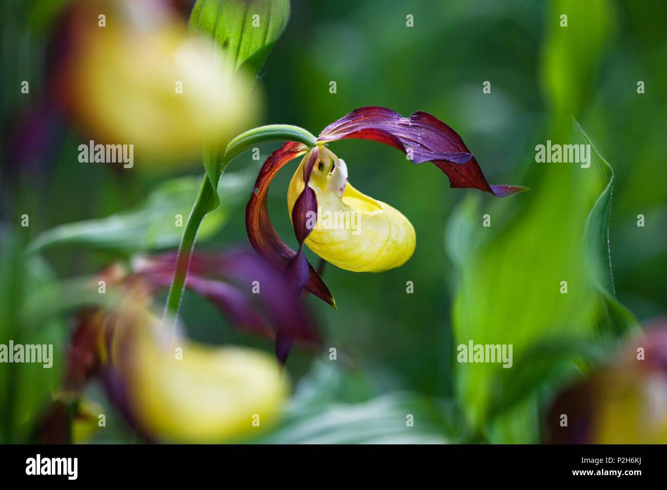 Ladyslipper, Cypripedium calceolus, Alta Baviera, Germania Foto Stock