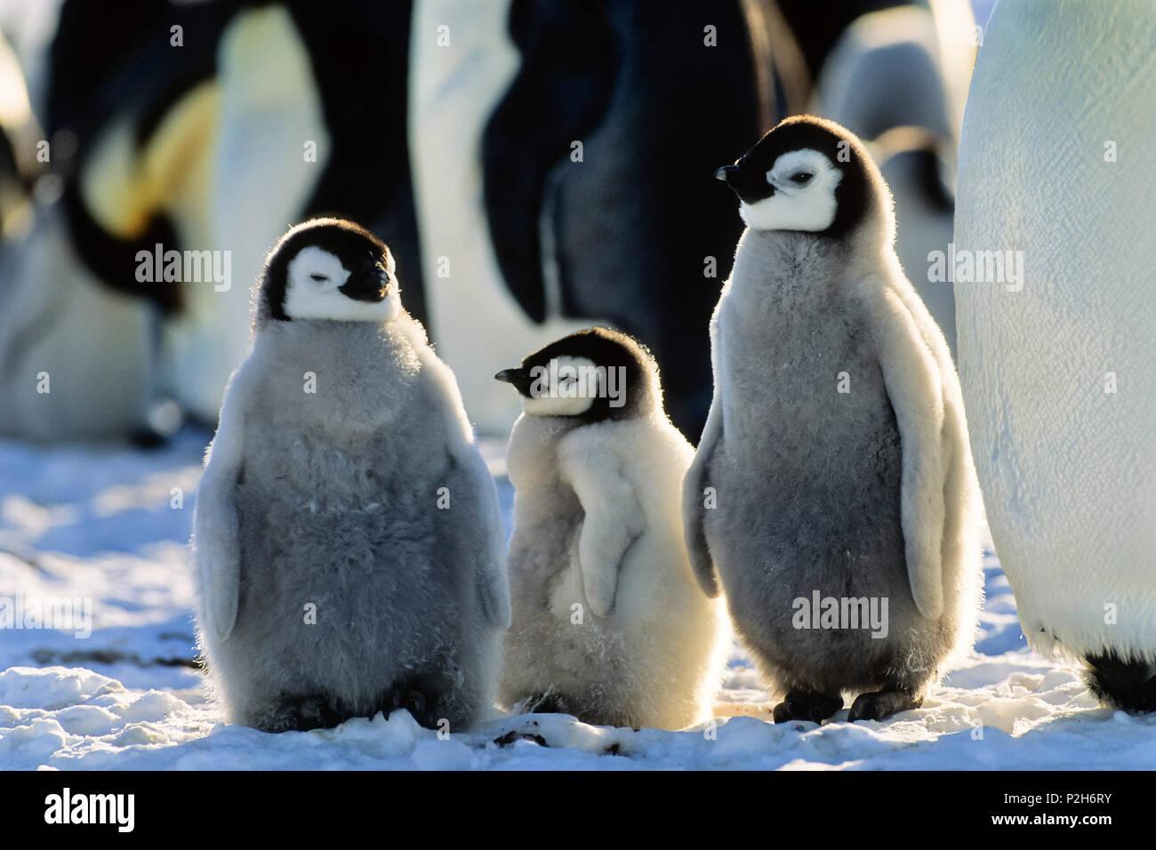Pinguino imperatore pulcini, Aptenodytes forsteri, Mare di Weddell, Antartide Immagini Stock