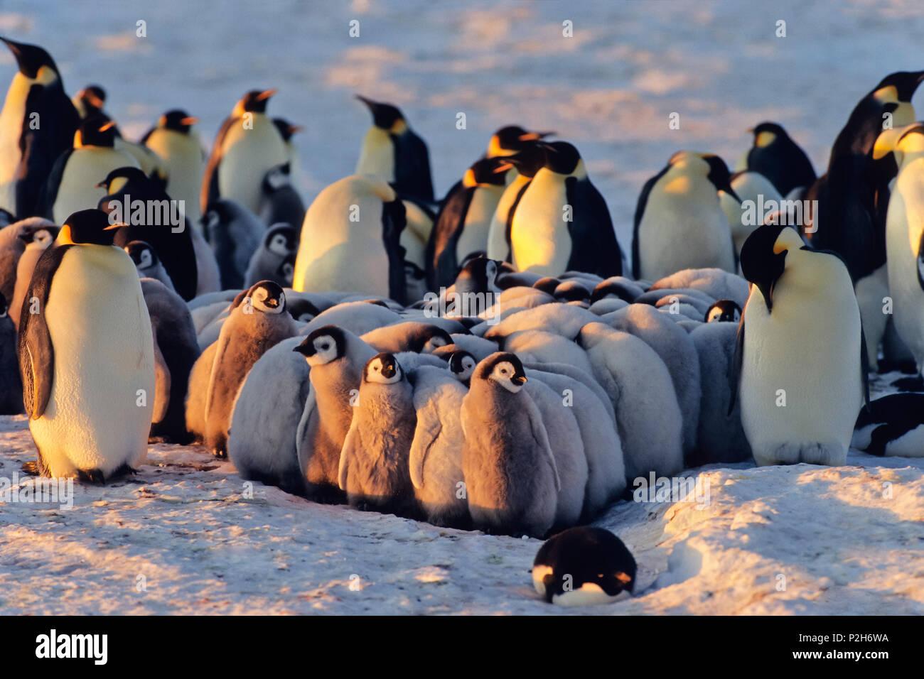 Pinguino imperatore con pulcini, asilo nido, Aptenodytes forsteri, Antartide Immagini Stock