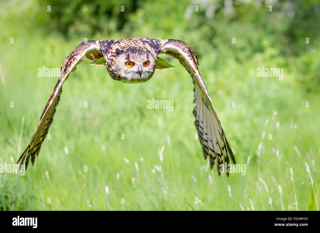 Gufo reale Bubo bubo in avvicinamento silenzioso volo in un Gloucestershire Bird Sanctuary - addestrato bird REGNO UNITO Immagini Stock