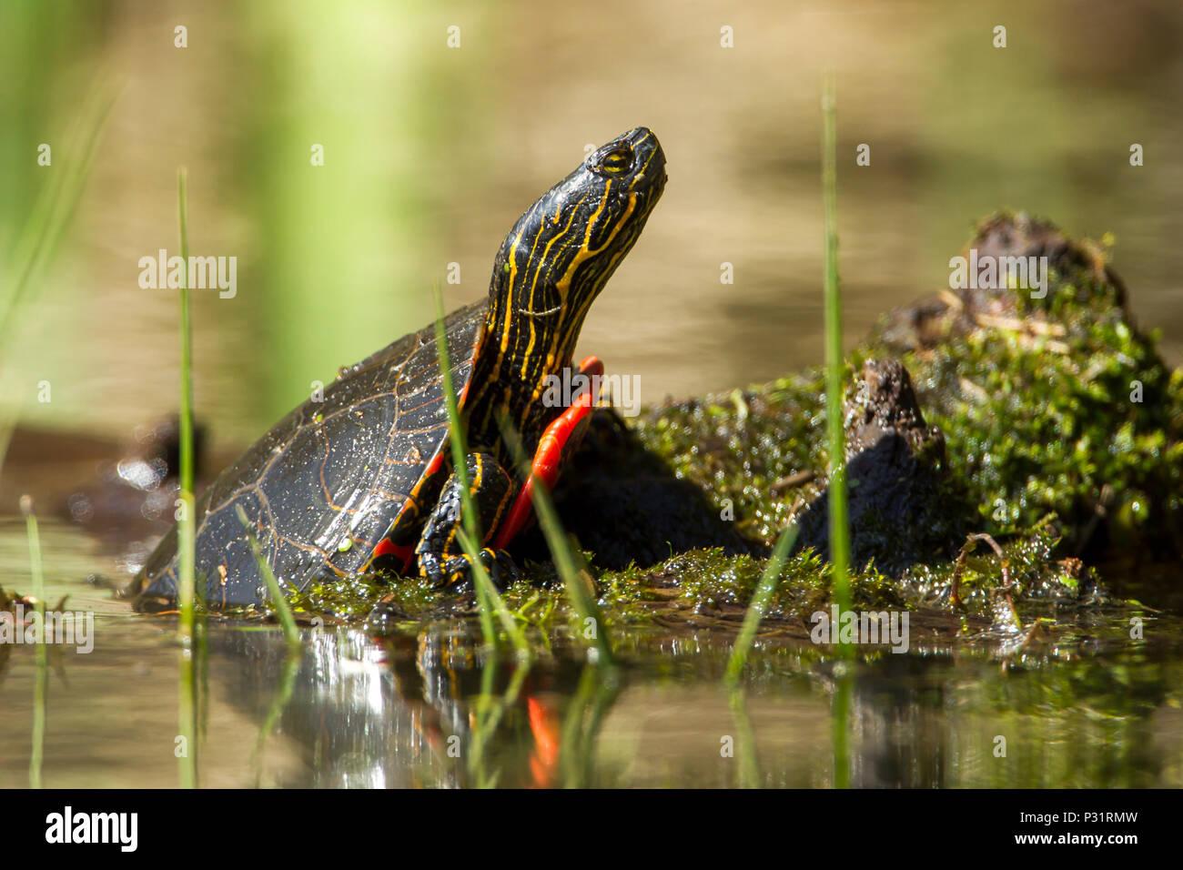 Un dipinto di America tartaruga (Chrysemys picta) è parzialmente su un log su Fernan Lago in Idaho. Immagini Stock