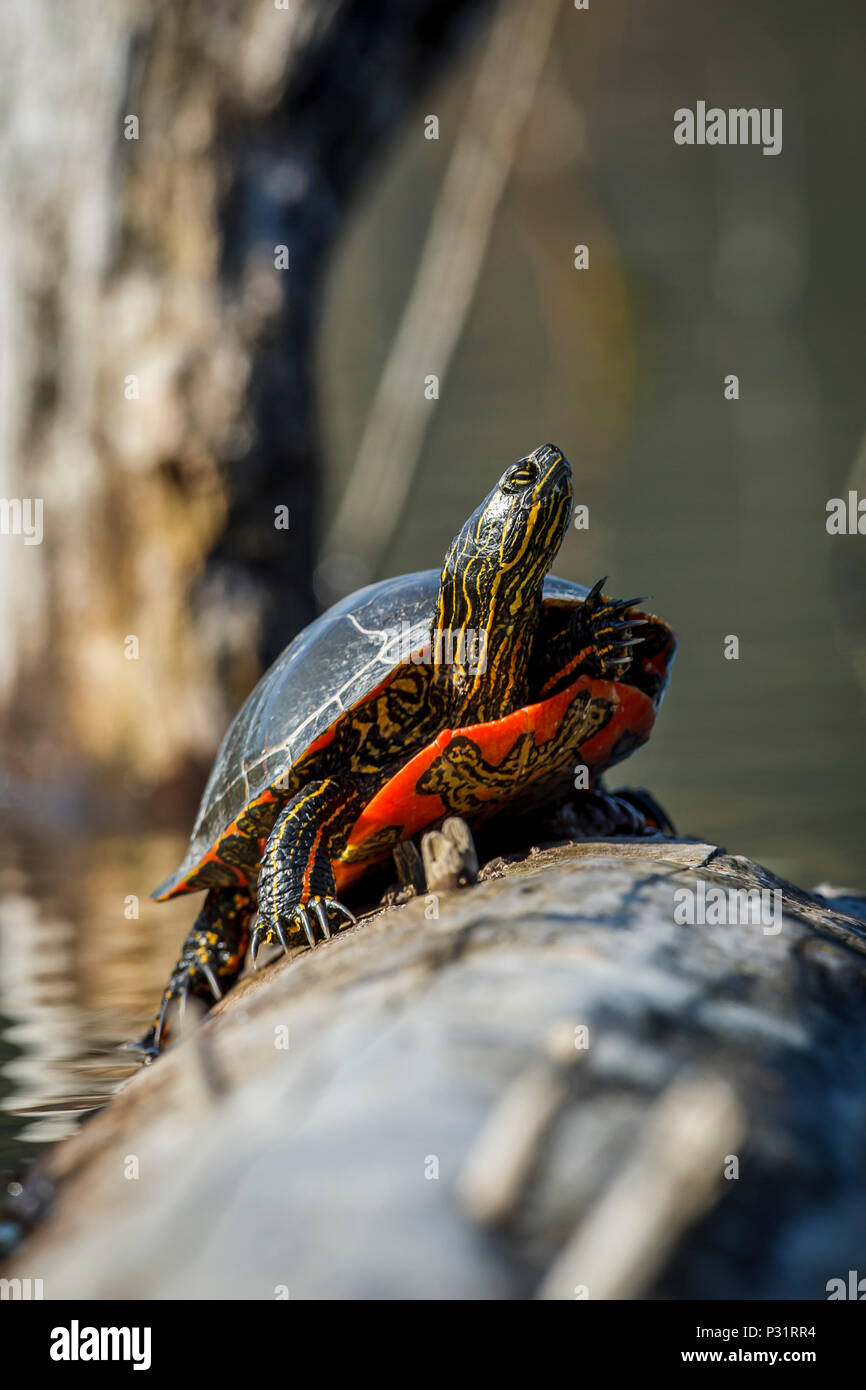 Un dipinto di America tartaruga (Chrysemys picta) si crogiola al sole su un log su Fernan Lago in Idaho. Immagini Stock