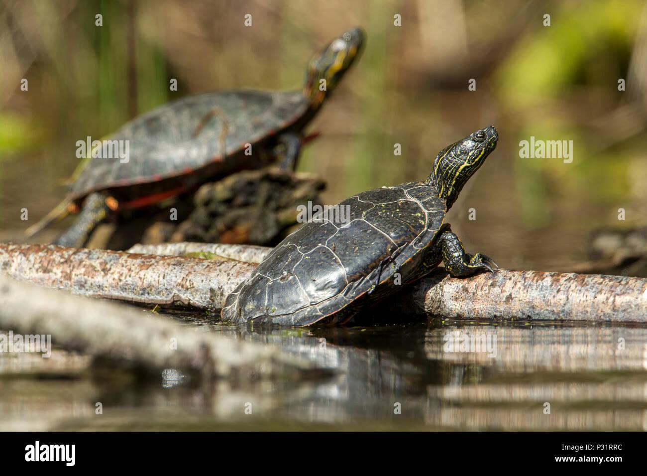 America due tartarughe verniciata (Chrysemys picta) crogiolarsi al sole su un log su Fernan Lago in Idaho. Immagini Stock