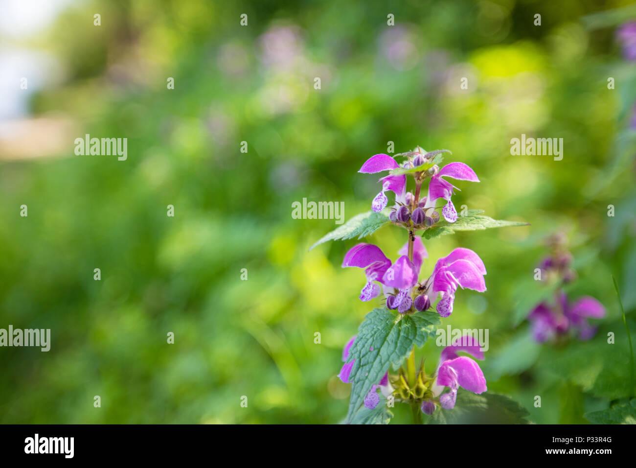 Un Campo Di Fiori Selvatici Viola Su Un Sfondo Sfocato Foto