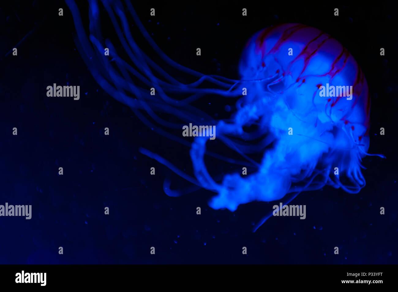 La porpora-striped medusa (Chrysaora colorata) una specie di meduse, mare ortica, medusa (Medusozoa), animali marini, crescendo sotto la luce nera Foto Stock
