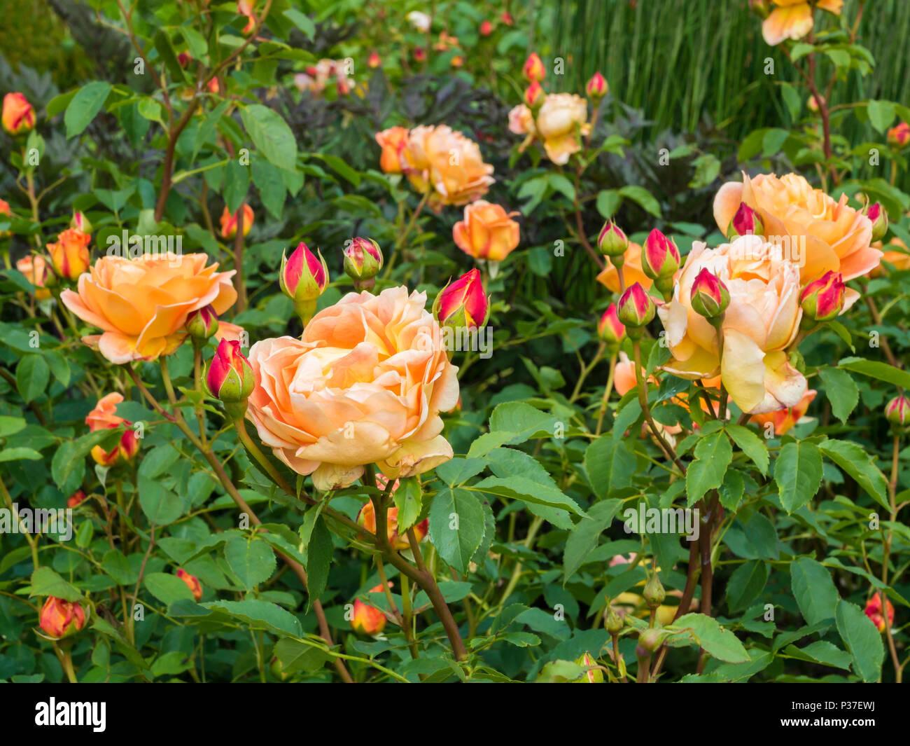 Colore arancio rosa tea varietà Lady di scalogno cespugli che ...