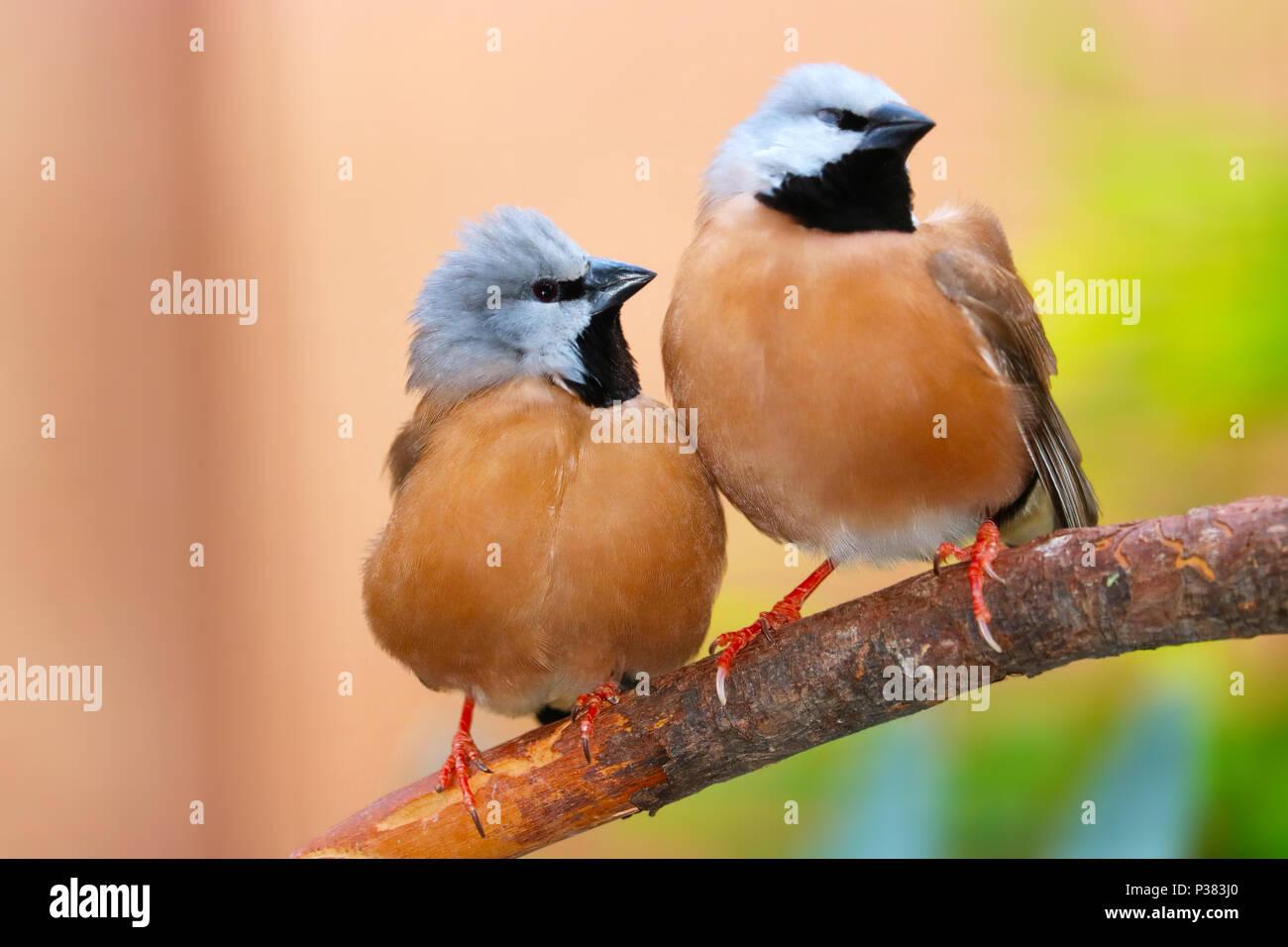 Due graziosi nero-throated o parson finches (poephila cincta) seduto su un ramo strettamente insieme fianco a fianco Immagini Stock