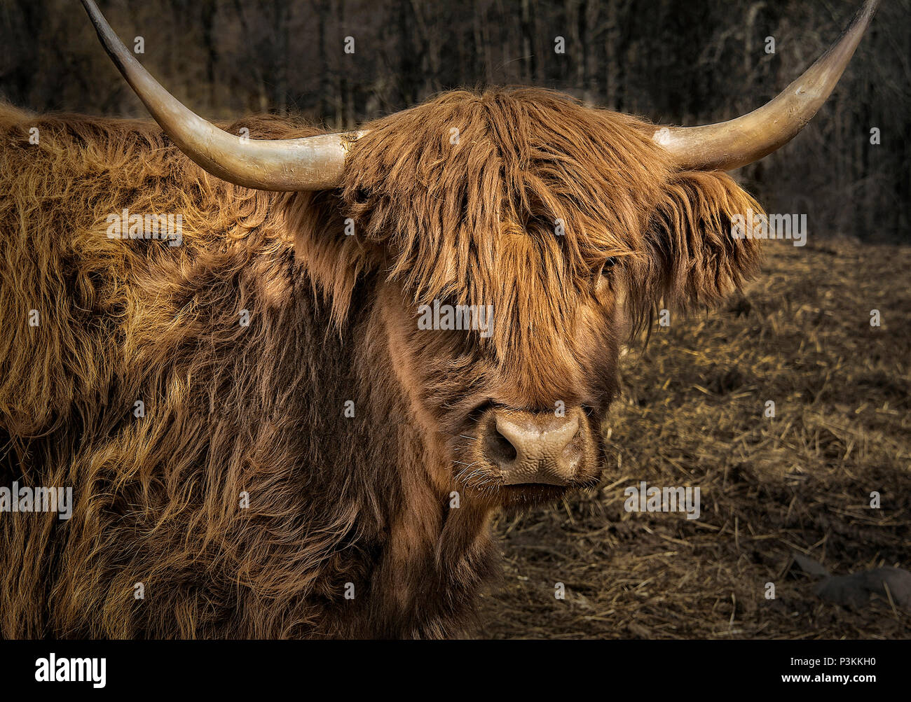 Highland scozzesi bovini Immagini Stock