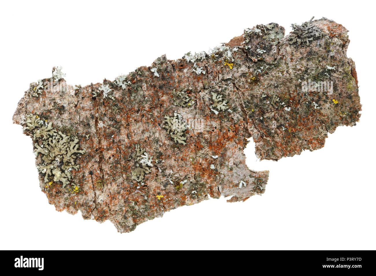 Il microcosmo e flora sulla superficie della corteccia del vecchio albero della mela. Licheni, muschi e altre sostanze organiche. Studio isolato di ripresa macro Immagini Stock