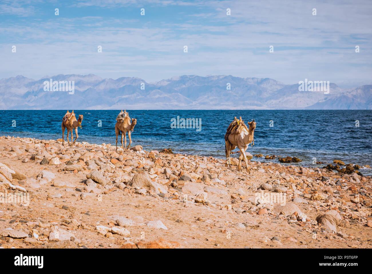 Cammelli sulla spiaggia costa, Sinai, Egitto, Africa Immagini Stock