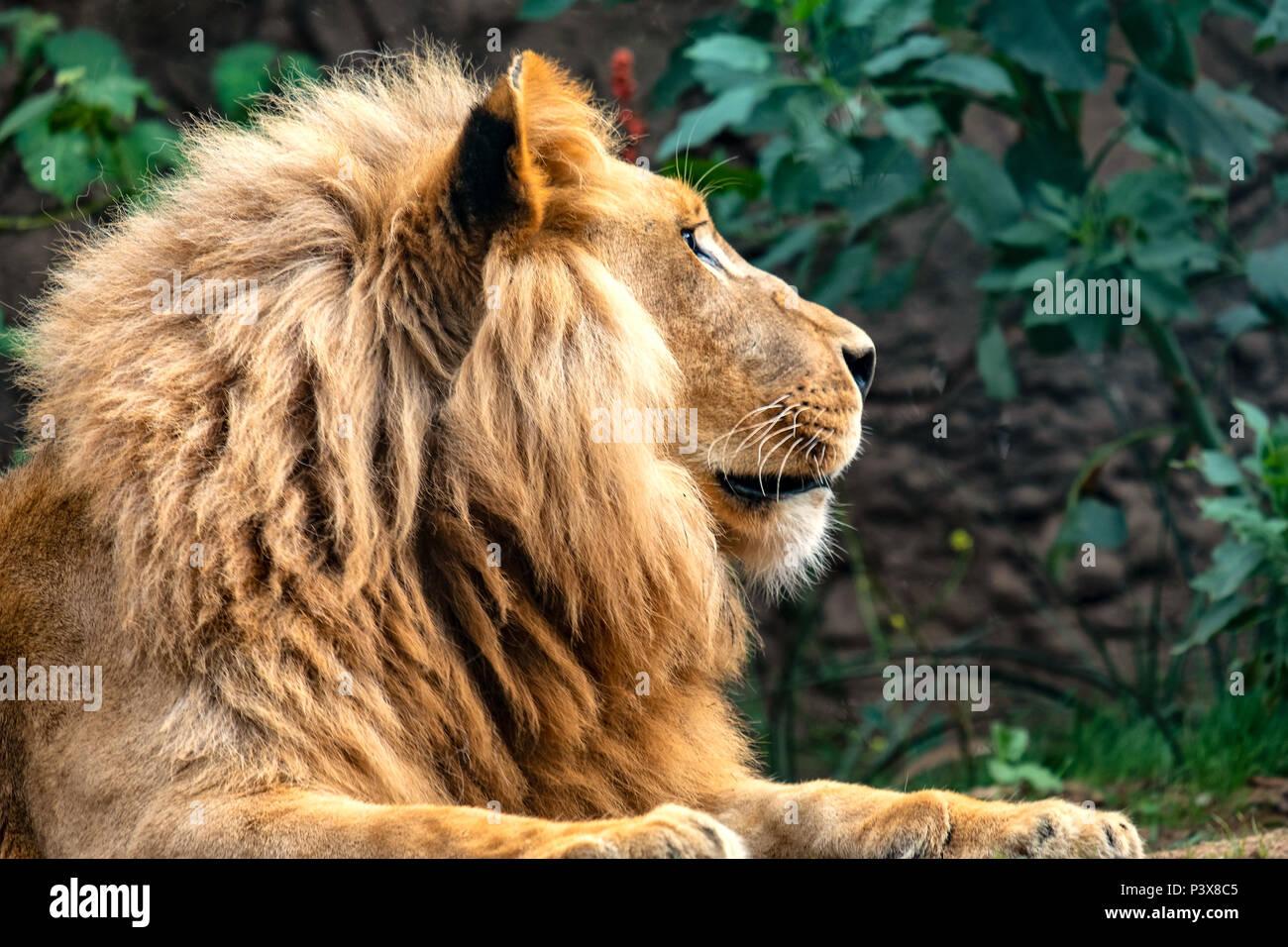 Un magnifico lion maschio ha fatto di sé e confortevole si trova in ombra sotto un albero. Era pieno e soddisfatto, così ho potuto avvicinare molto vicino. Immagini Stock