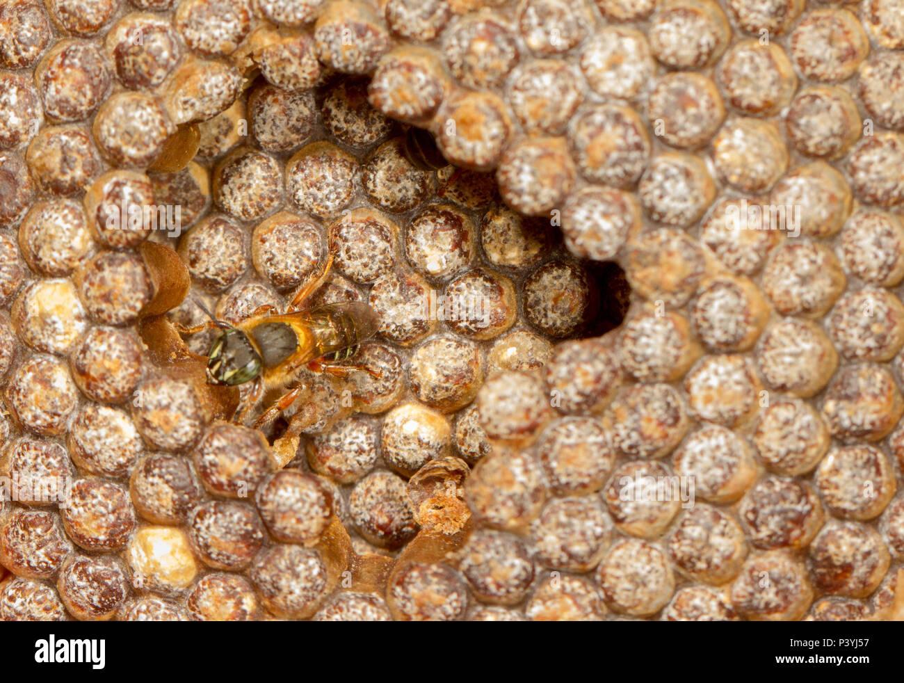 Abelhas da espécie Meliponas. Immagini Stock