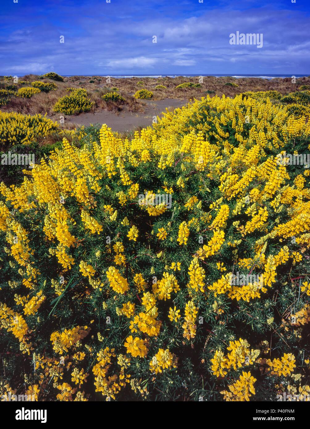 Boccola gialla, lupino Lupinus arboreus, vongola Beach, Little River State Beach, Humboldt County, California Immagini Stock