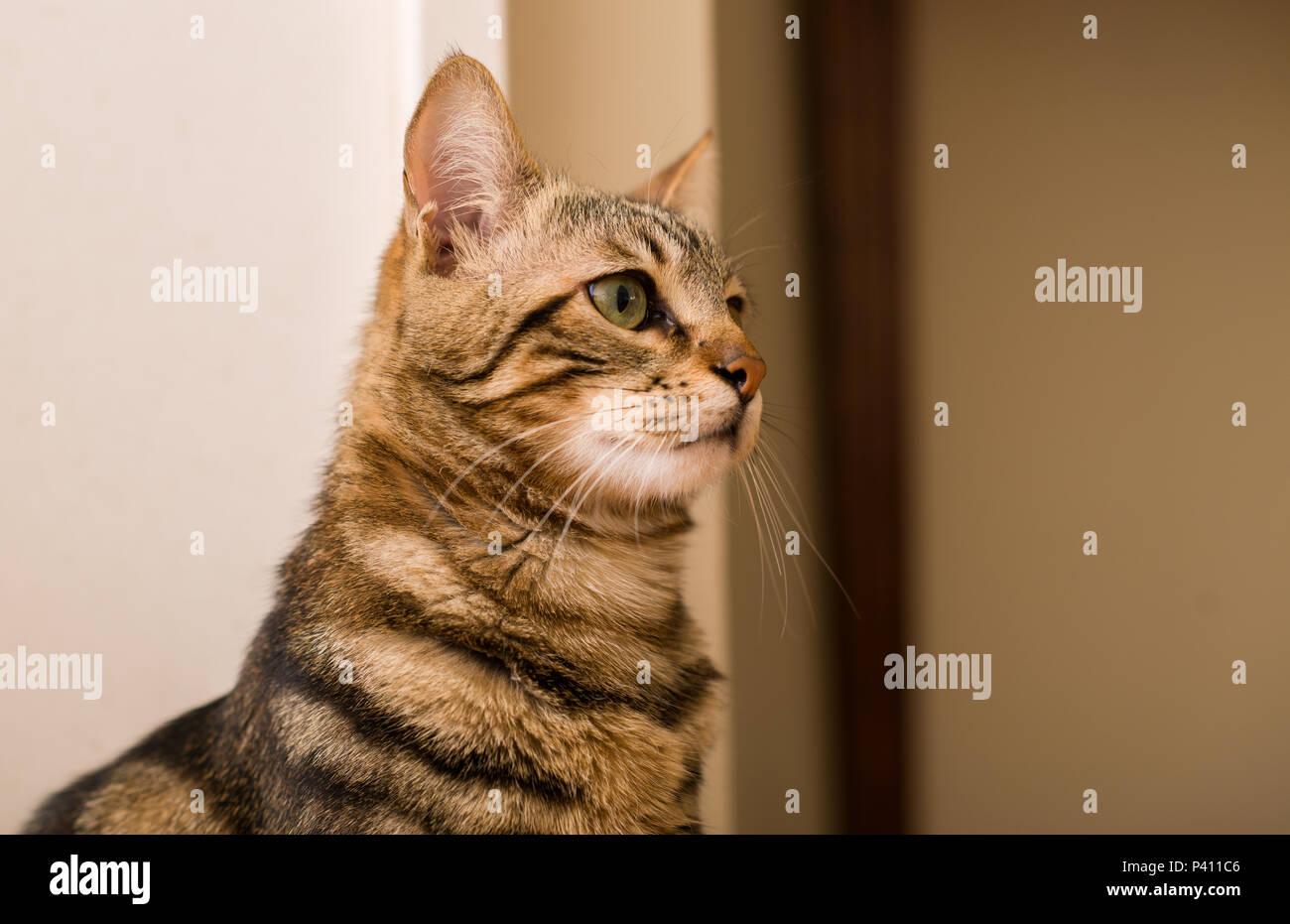Il gatto domestico a casa Immagini Stock
