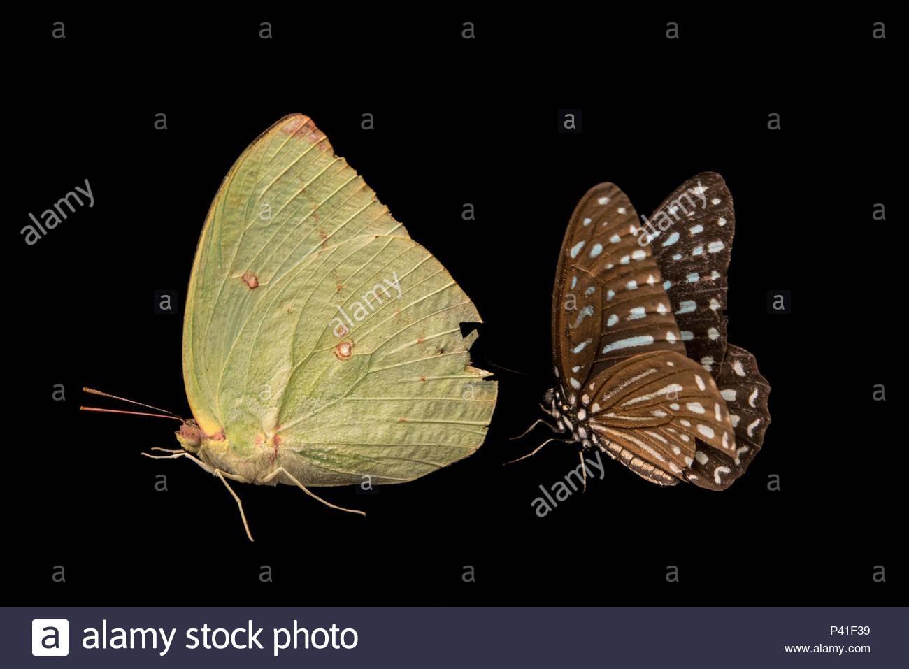 Un limone emigrante, Catopsila pomona pomona, e un Indiano Wanderer, Pareronia hippia, a Angkor Centro per la conservazione della biodiversità. Immagini Stock