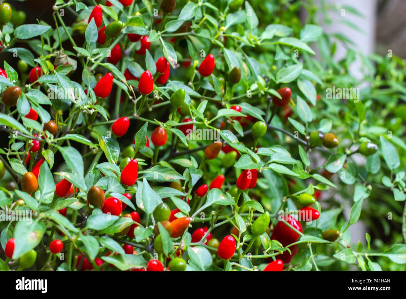 Pimenta Pimenta Cumari Pimenta vermelha Pimenta no Pé arbusto de pimentas tempero condimento condimento culinário picante gastronomia alimentos pratos picantes Immagini Stock