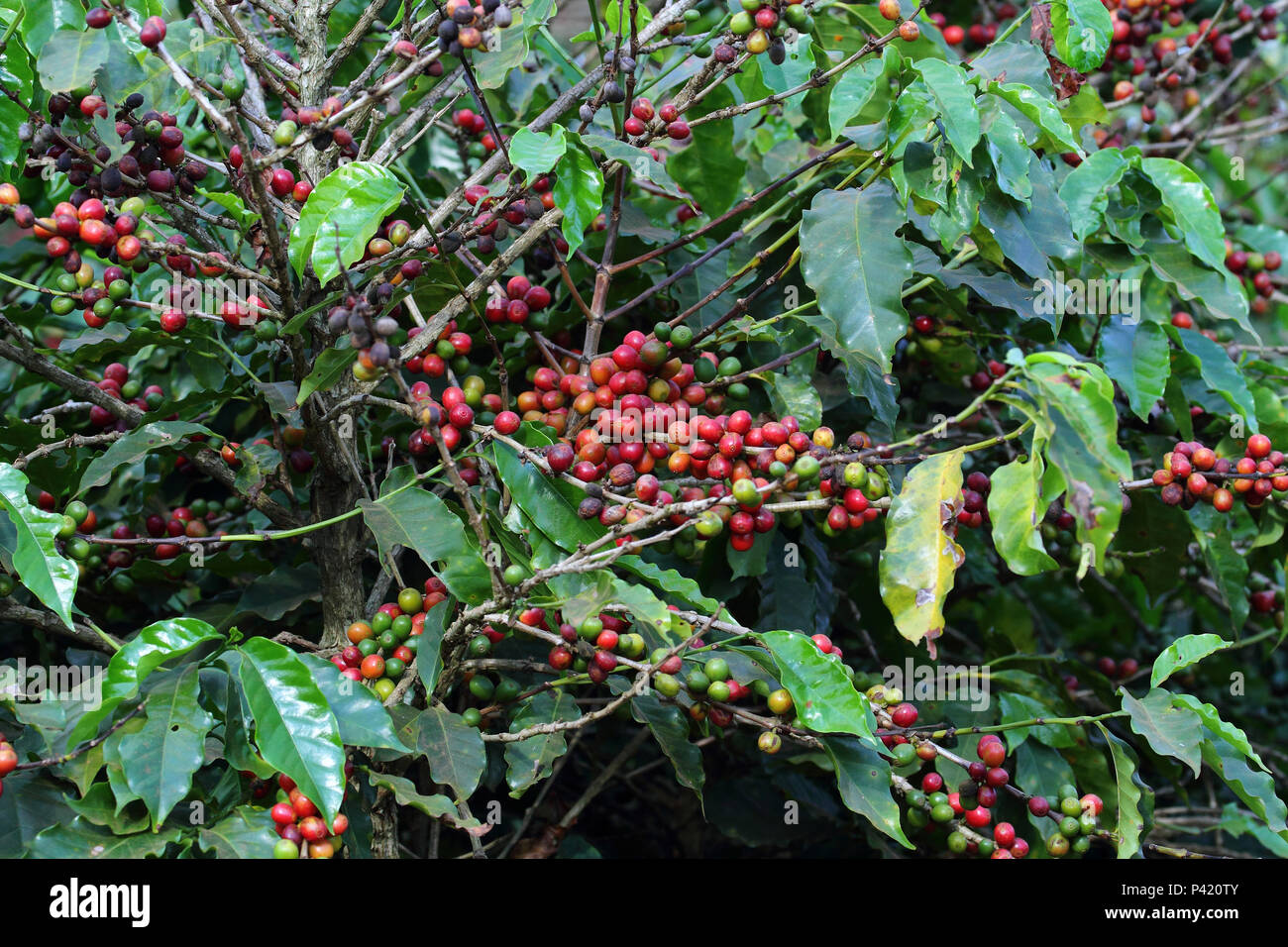 São Roque de Minas - MG Café Café no pé Pé de Café Café maduro Coffea arabica L. arbusto de café Plantação de Café Grão de café maduro São Roque de Minas Minas Gerais Sudeste Brasil Immagini Stock