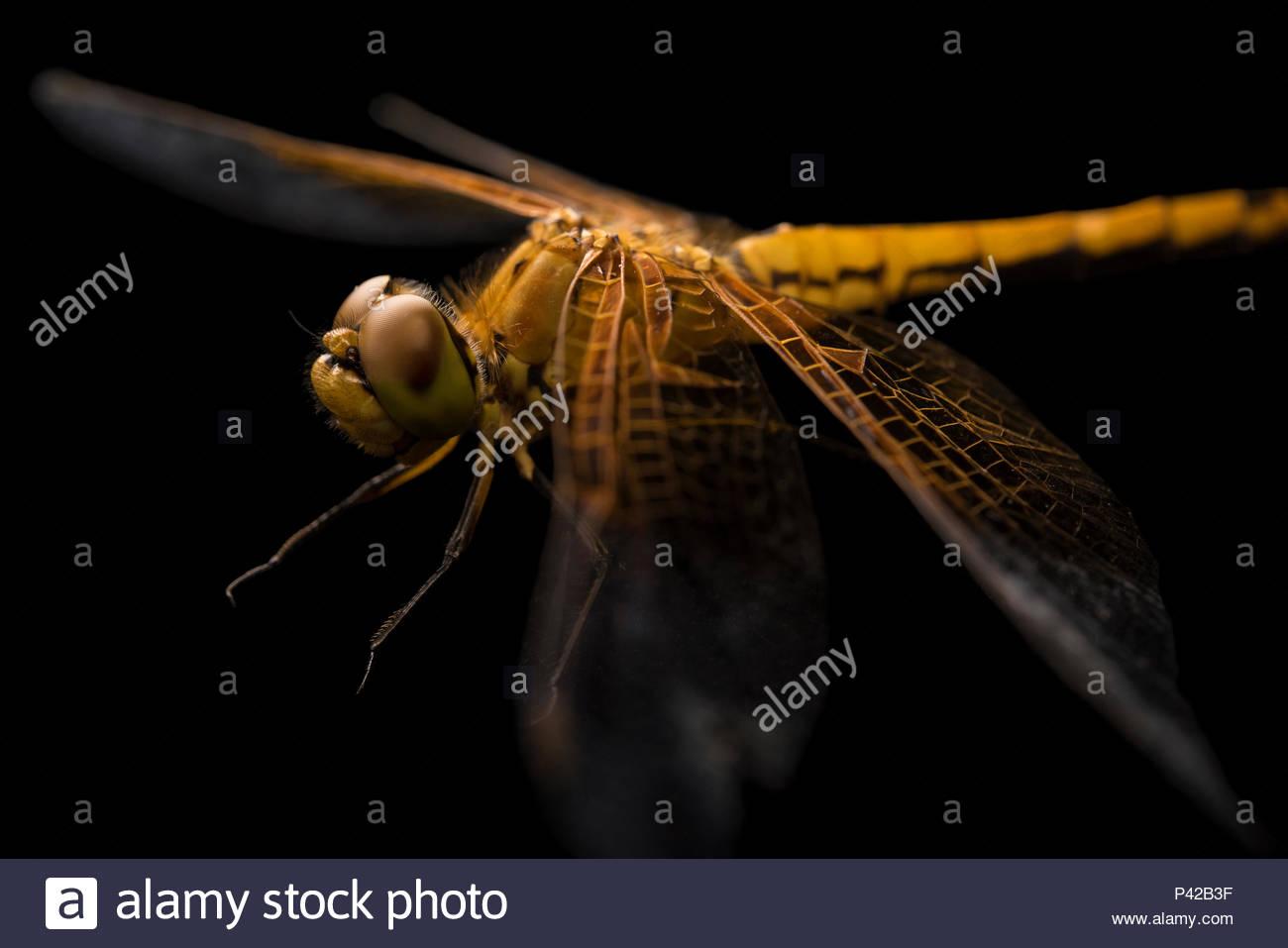 Skimmer dragonfly, Sympetrum occidentale, a Cedar Point stazione biologica. Immagini Stock