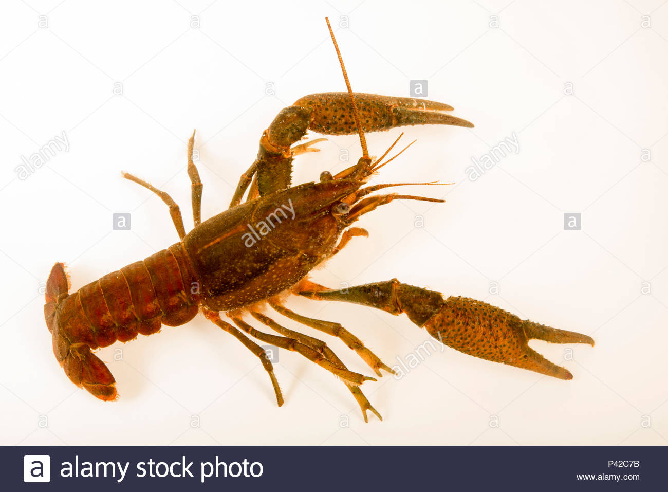 Gamberi fallace, Procambarus fallax, raccolti a Beecher molle eseguire un flusso per motivi di Welaka National Fish Hatchery. Immagini Stock