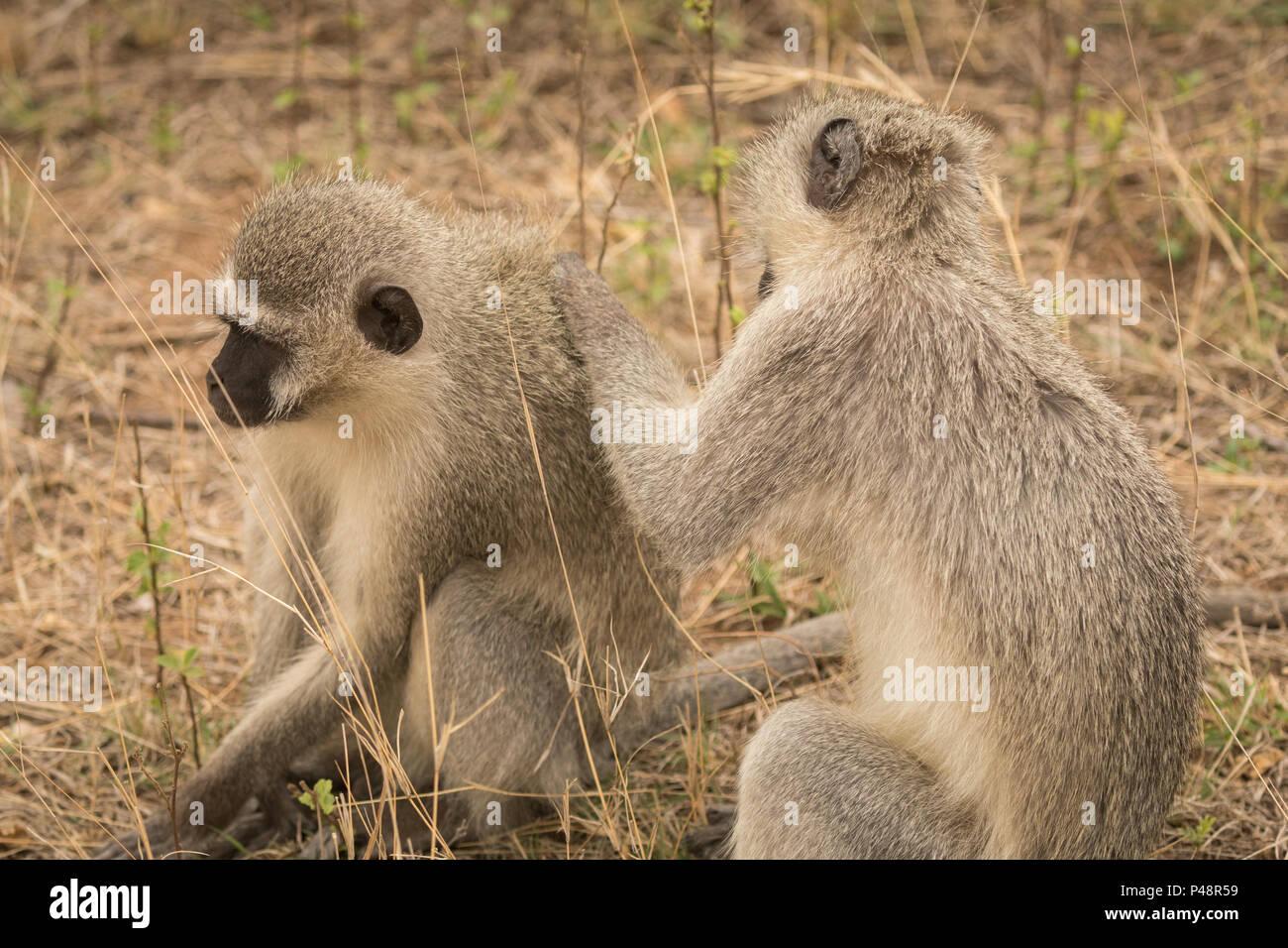 Le scimmie in safari park Immagini Stock