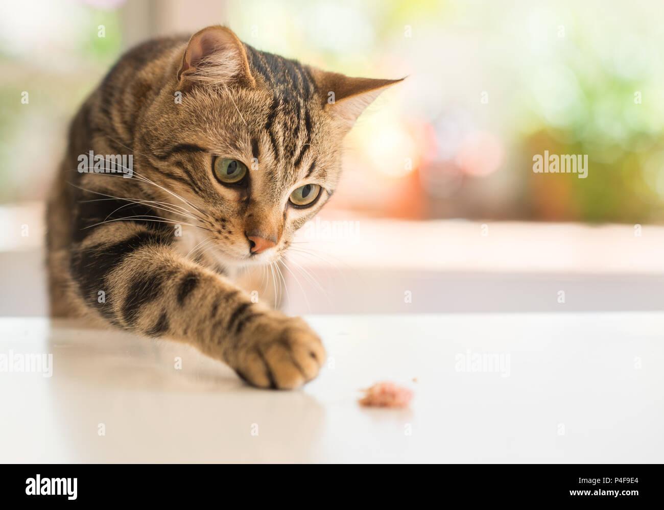 Bellissimi i gatti Gatto a casa. Animale domestico. Immagini Stock