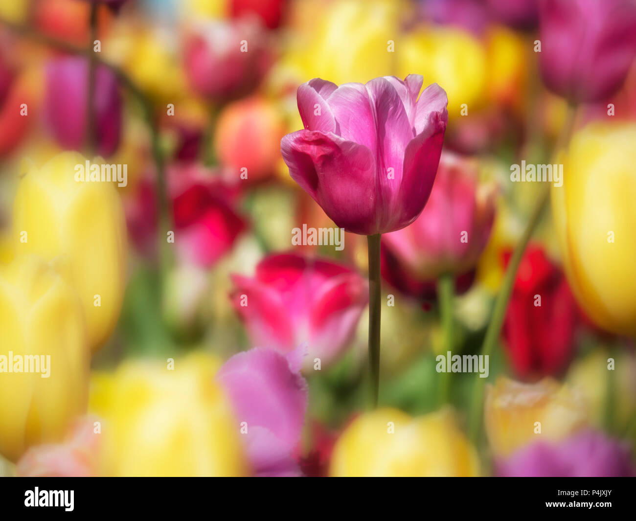 Multicolor Tulip Display per lo sfondo Immagini Stock