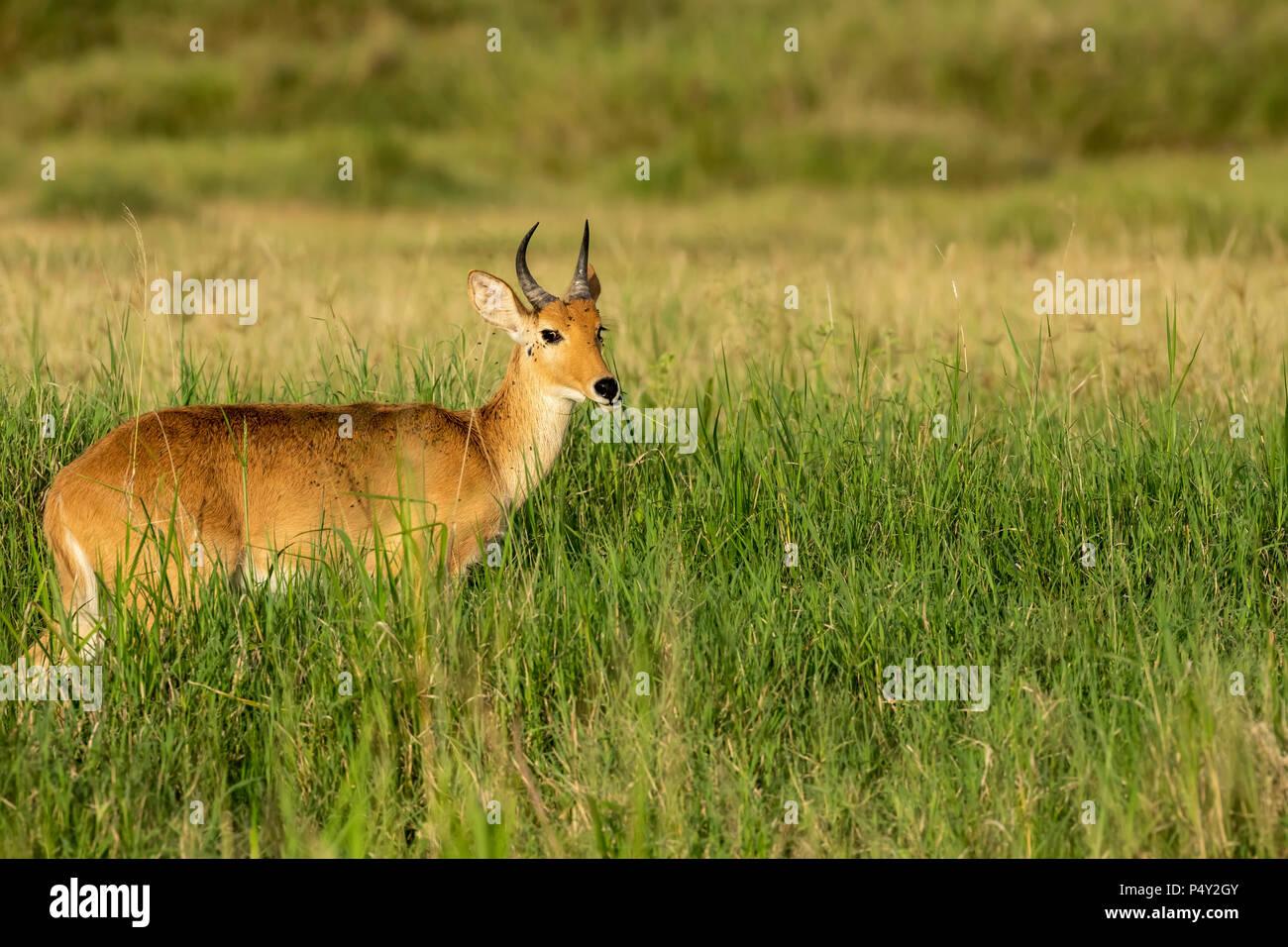 Comune (Reedbuck Redunca arundinum) alimentazione sulla savana nel Parco Nazionale del Serengeti, Tanzania Immagini Stock