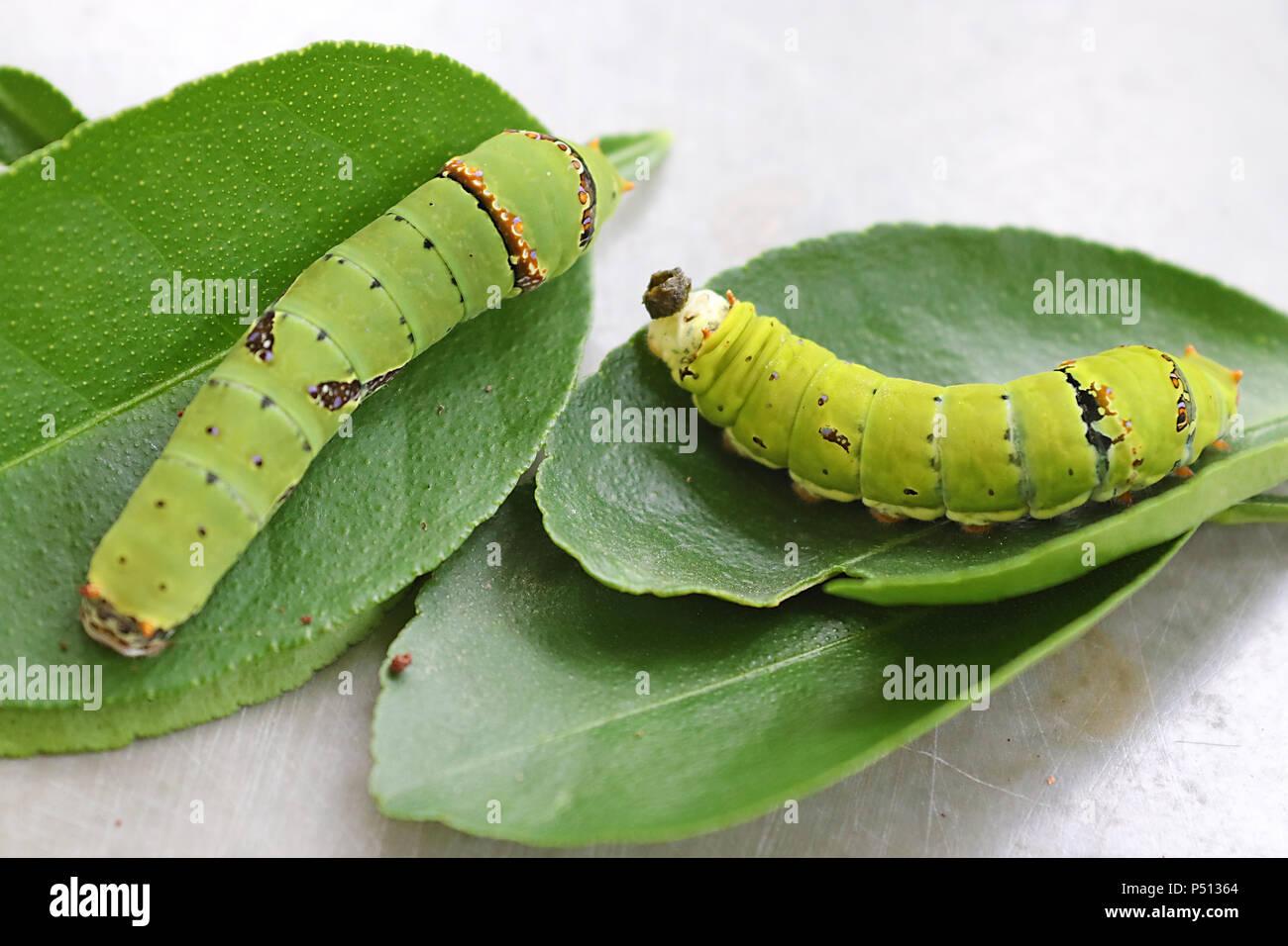 Diversi morph del quinto calce instar bruchi di farfalla Immagini Stock