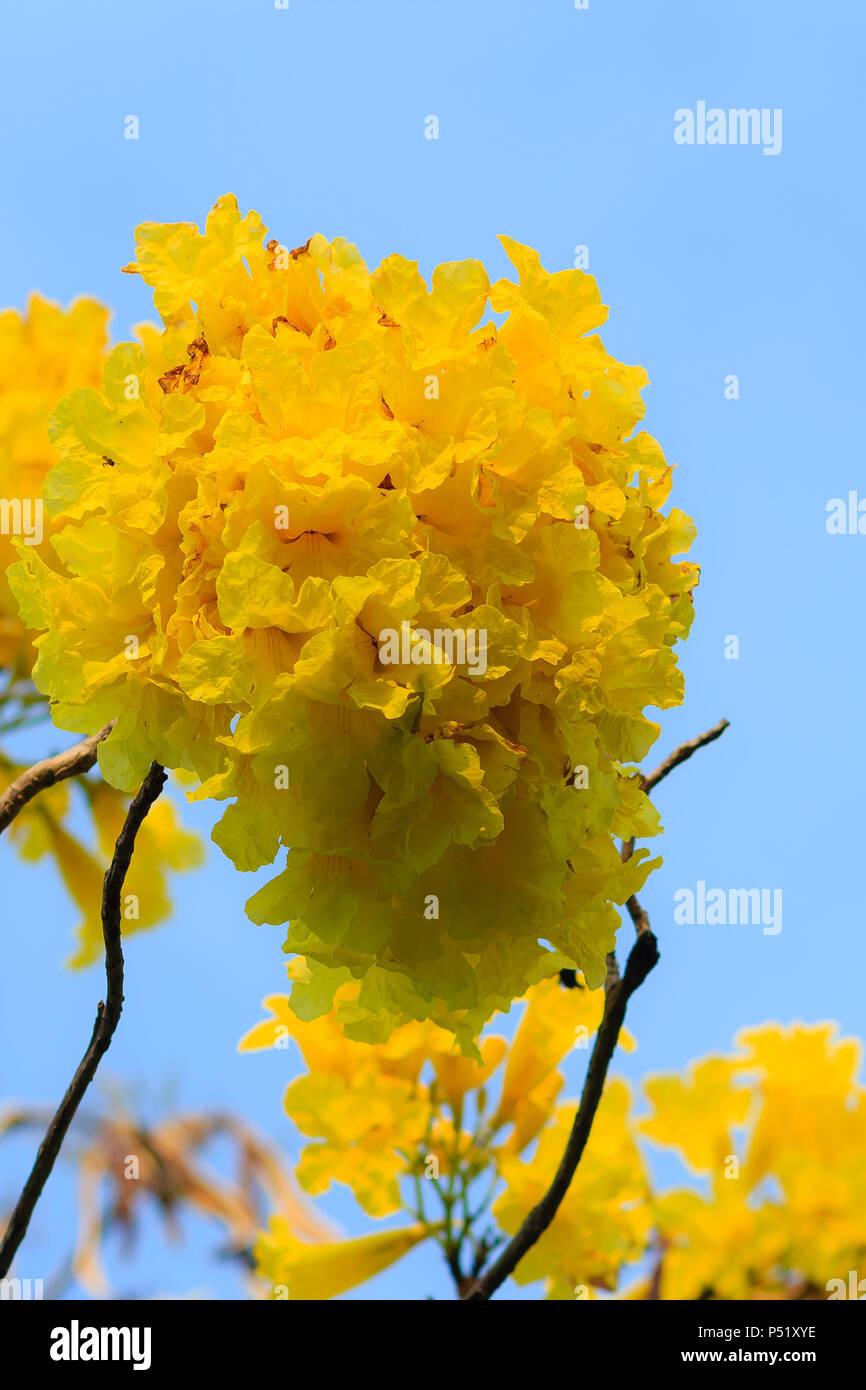 Fiori Giallo Oro.Closeup Bellissimo Fiore Giallo Di Argento Tromba Ad Albero
