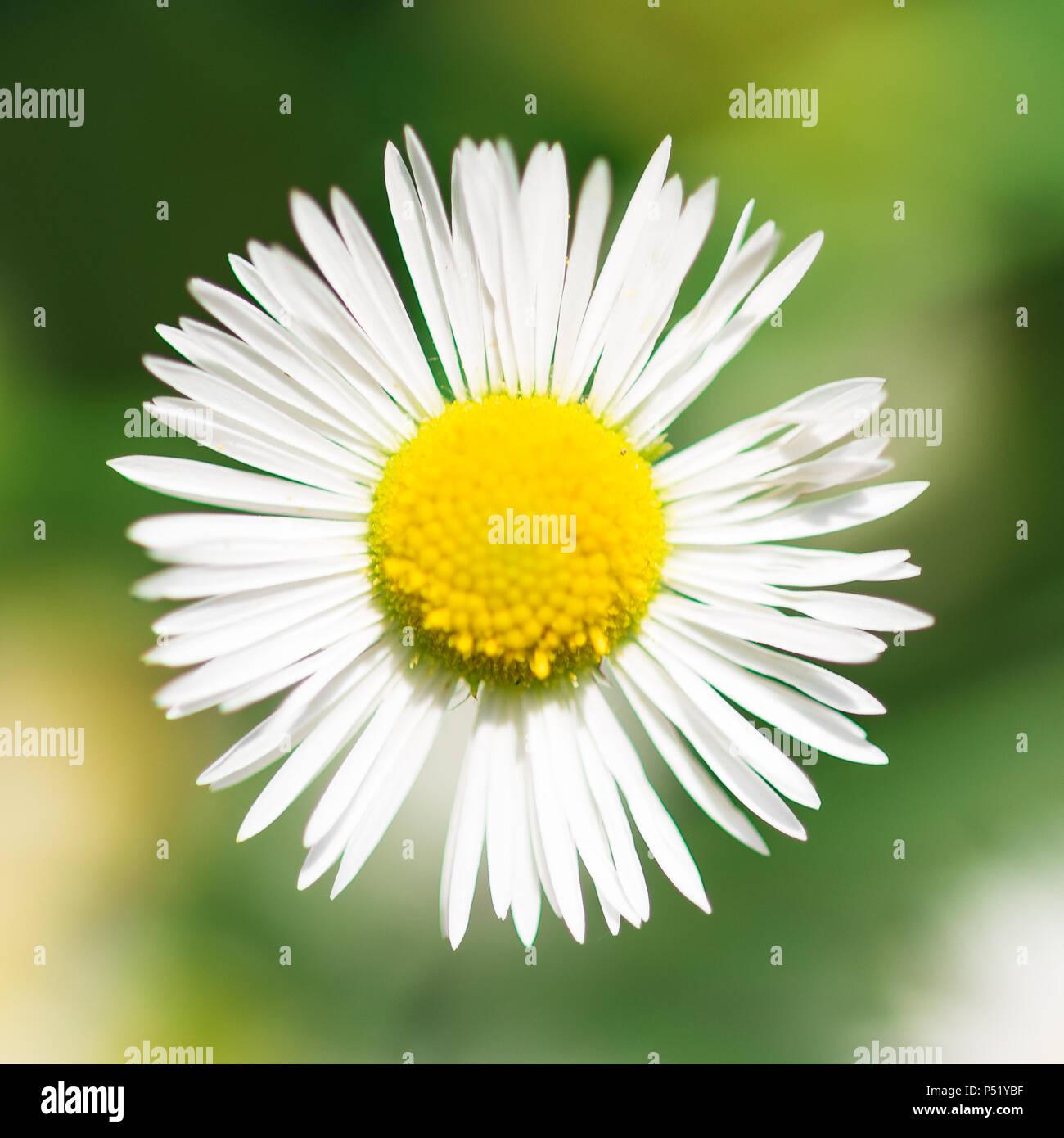 Una posizione centrata di daisy: la perfezione della natura Immagini Stock