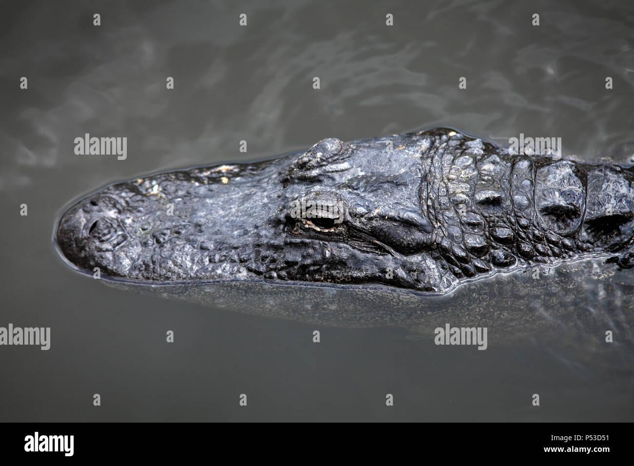 Immagine ravvicinata di alligatore galleggiante sull'acqua Immagini Stock