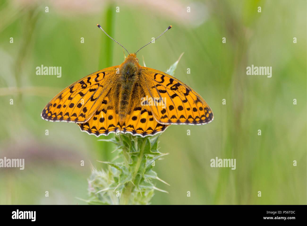 Alta brown fritillary butterfly nel prato erboso su South Downs way UK. Scarse e le specie in via di estinzione. Arancione ali superiore con marcature nere. Immagini Stock