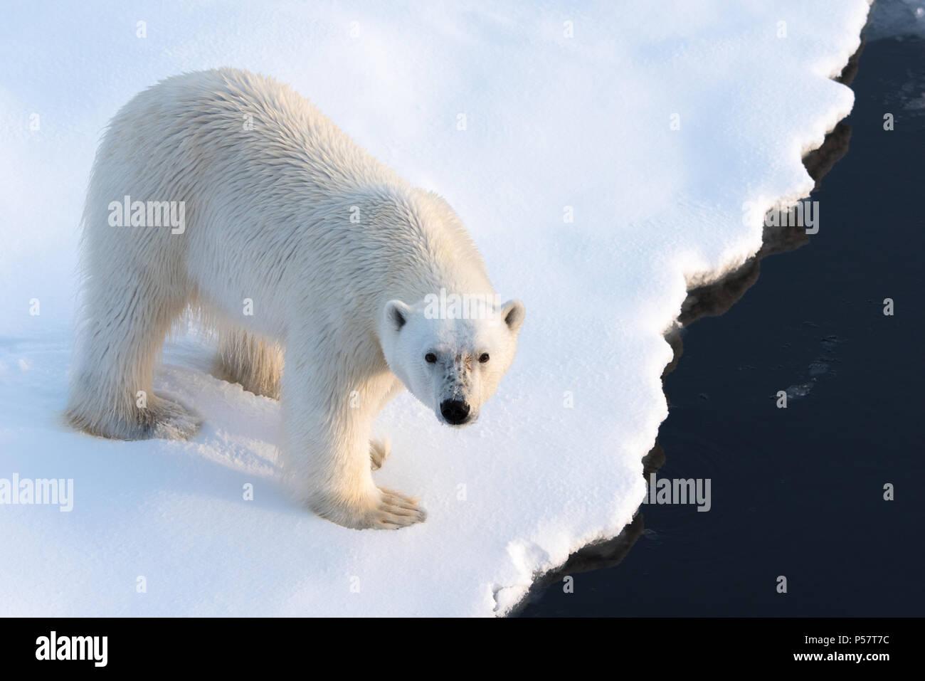 Close up Polar Bear guardando la fotocamera Immagini Stock