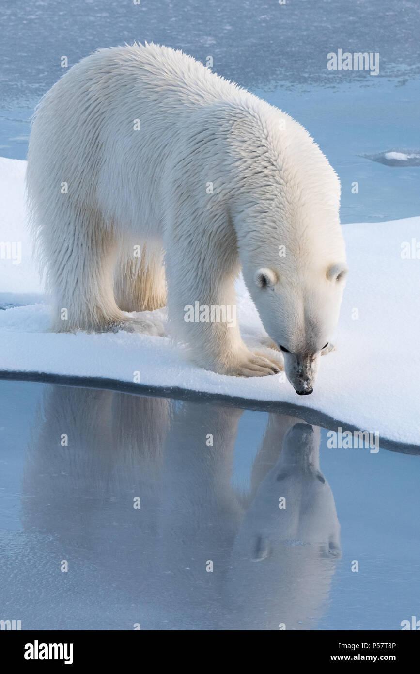 Orso polare guardando è la riflessione Immagini Stock