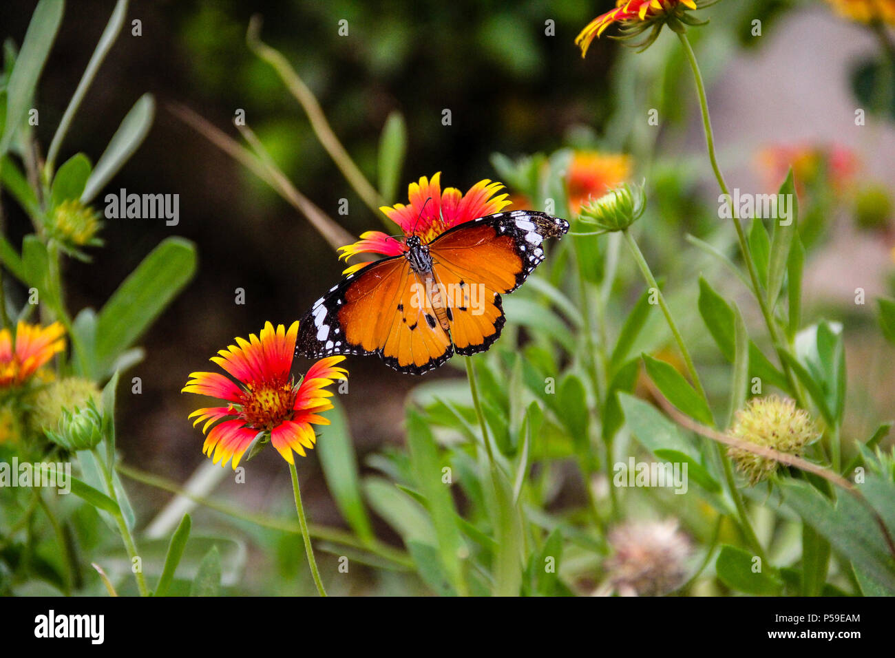 Plain Tiger Butterfly Immagini Stock