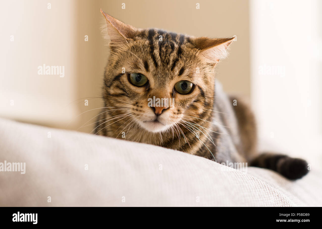 Il gatto domestico a casa Foto Stock