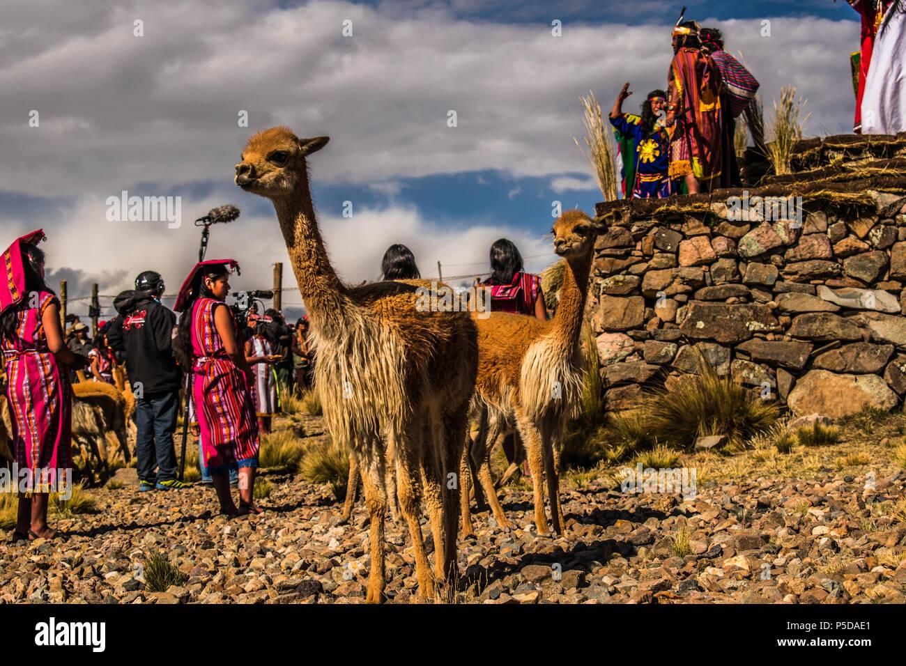 Fiesta tradicional del chacu en Pampa Galeras La vicuña es una especie emblemática del Perú que figura, incluso, en nuestro escudo nacional. Immagini Stock