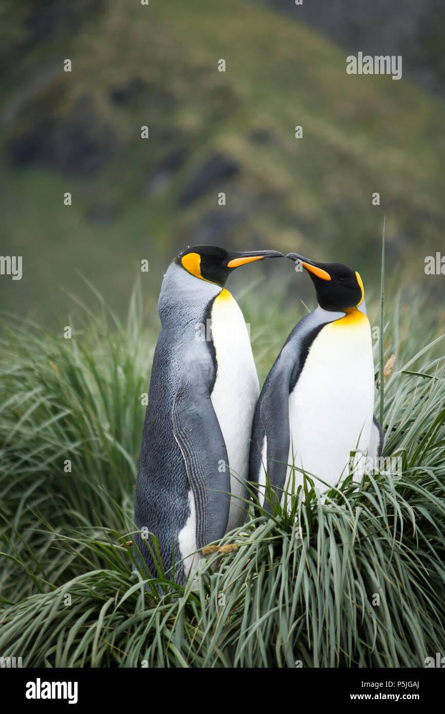 Coppia di Re pinguini su nest Immagini Stock