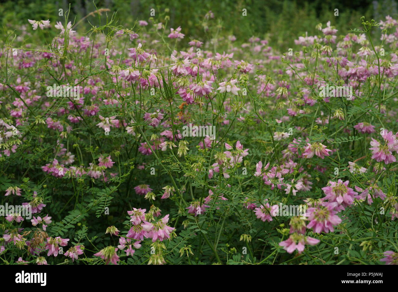 Securigera varia / Crownvetch / Bunte Kronwicke Foto Stock